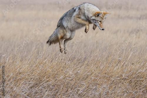 Canvas Print Coyote Pounce