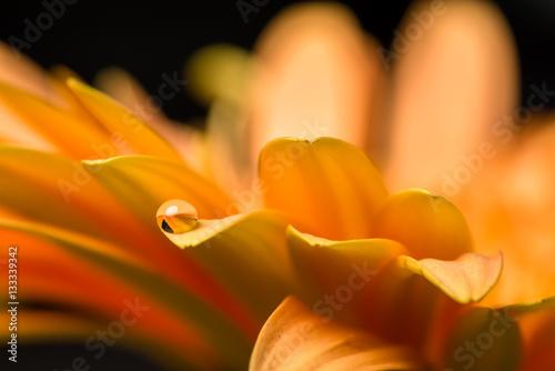 Macro of water drop on orange gerber