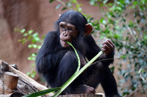 Photo Chimpanzee eating bamboo