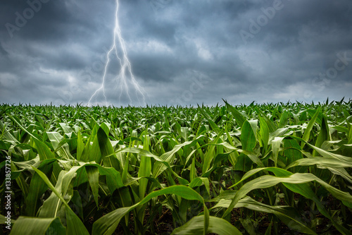 Canvas Thunderstorm with lightning in green cornfield