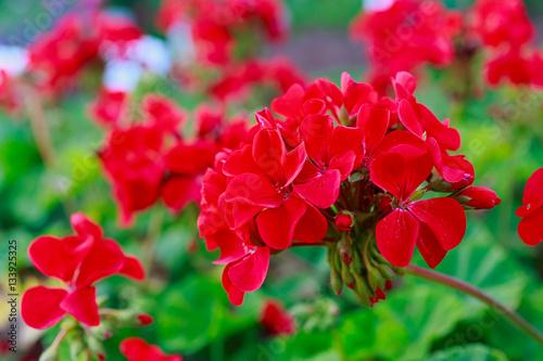 Red Geraniums in the summer garden.