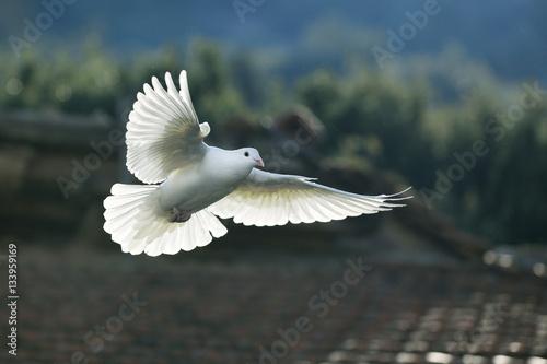 Fototapeta premium biała gołębica