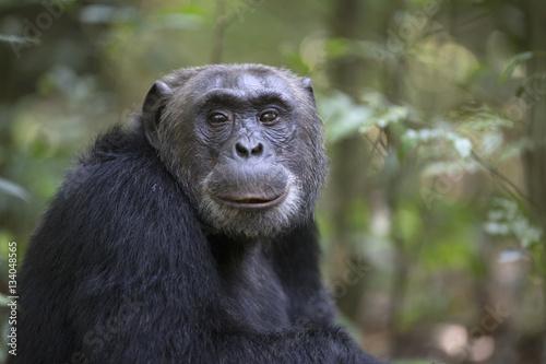 Photographie Portrait of free wild chimpanzee