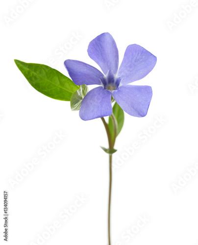 Obraz na płótnie Periwinkle flower isolated on white background