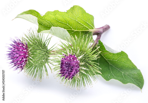 Fotografia Prickly heads of burdock flowers on a white background.