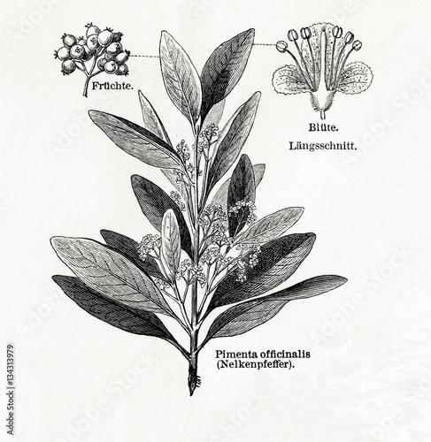 Fotografia Allspice (Pimenta dioica, Pimenta officinalis) (from Meyers Lexikon, 1895, 7/542