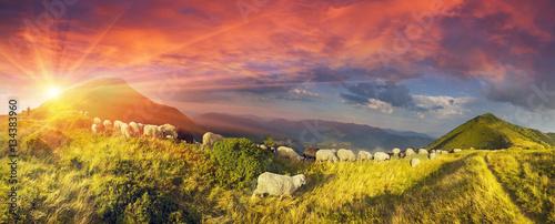Fotografia Sheep on a mountain pasture