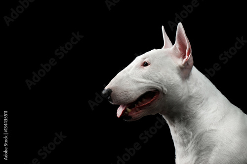 Canvas Print Close-up portrait of Happy White Bull Terrier Dog Smiling on isolated black back
