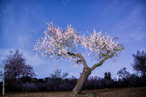 Stampa su Tela Almond tree blooming at night