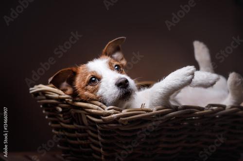 Obraz na płótnie Dog Jack Russell Terrier   portrait in the studio