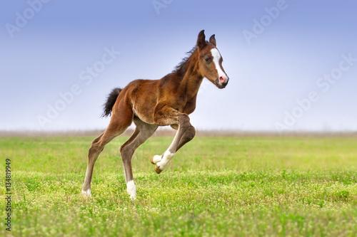 Beautiful bay foal run gallop on spring green pasture Fototapete