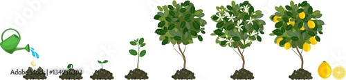 Fotografia, Obraz Plant growing from seed to lemon tree. Life cycle plant