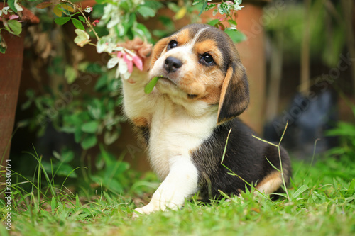 Photo purebred beagle puppy is learning the world in first time