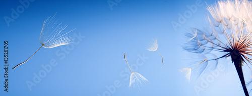 flying dandelion seeds on blue background