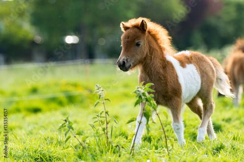 Photo Shetland foal in the meadow