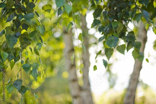 Brzoza podświetlona słońcem - wiosna