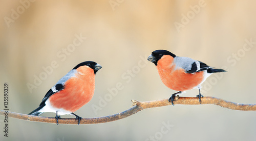 Fotografia A pair of birds bullfinches with red feathers sitting on a branch in winter Park