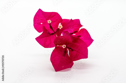 Fotomural Red bougainvillea flower isolated on white background.