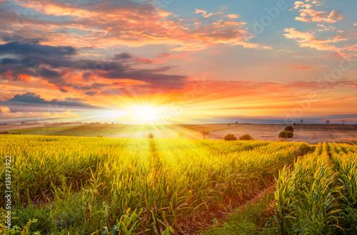 Fotografie, Tablou Sunrise over the corn field
