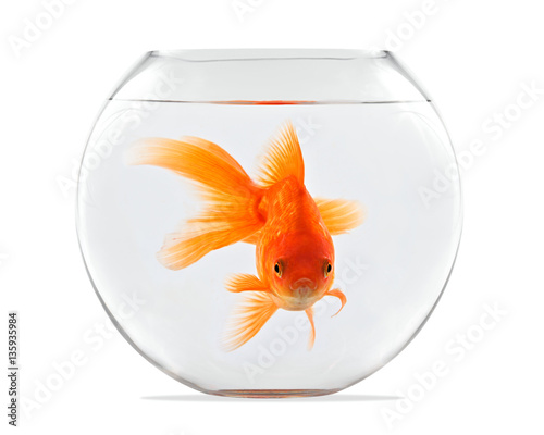 Fototapeta Goldfish floating in glass sphere and on a white background