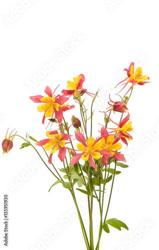 aquilegia flower isolated Fototapeta