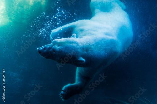 Canvas Print Polar Bear Diving