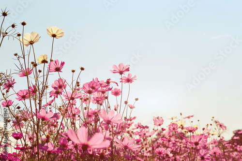 Pink of cosmos flower field. Sweet and love concept - vintage nature background