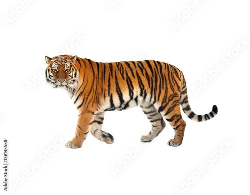 Fototapeta premium Tygrys syberyjski (P. t. Altaica), znany również jako tygrys amurski