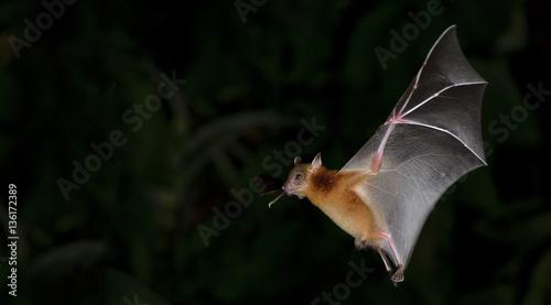 Photo Bat, Greater Shortnosed Fruit Bat flying at night