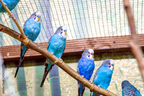 Foto blue parrots sitting on a branch in an aviary