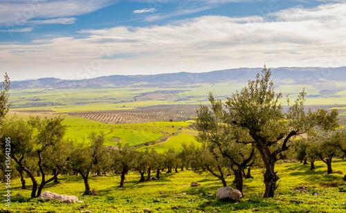 Fotografia Olive trees on the mountain