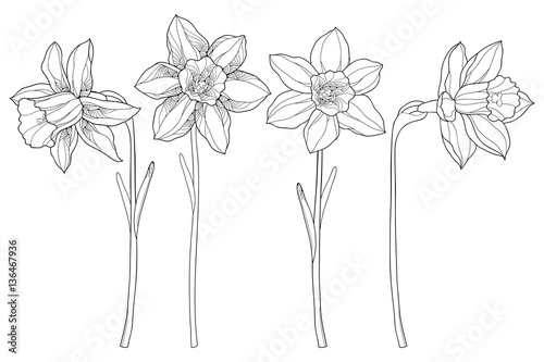 Fotografie, Obraz Vector set with outline narcissus or daffodil flowers in black isolated on white background