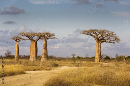 Fotomural Baobab Alley in Madagascar, Africa. Beautiful and colourful land