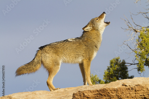 Foto Canis latrans / Coyote