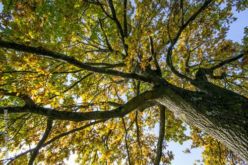 Chioma di quercia in autunno all'Englischer Garten di Monaco di Baviera, Germania