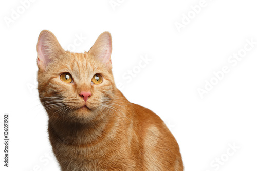 Portrait of Satisfied Ginger Cat Stare up on Isolated white background, front vi Fototapeta