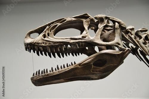 Fototapeta premium Szkielet głowy dinozaurów mięsożernych