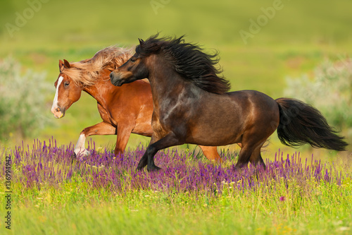Two horse with long mane run gallop on flowers