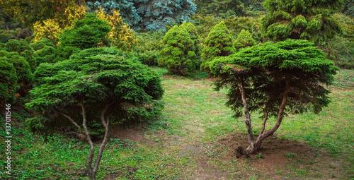 Fotografia Beautiful yew trees
