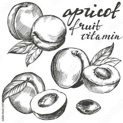 Fototapeta apricot fruit set hand drawn vector llustration realistic sketch