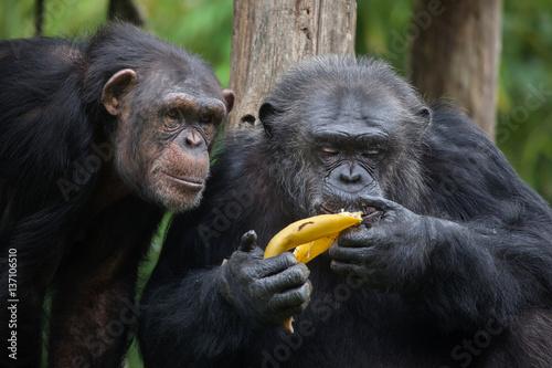 Valokuvatapetti Common chimpanzee (Pan troglodytes)
