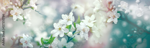 Selective focus on flower petals and stamens - beautiful flowering fruit tree