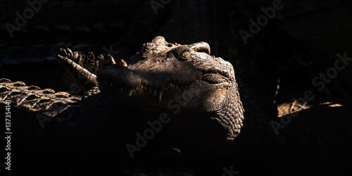 Foto Saltwater crocodile head