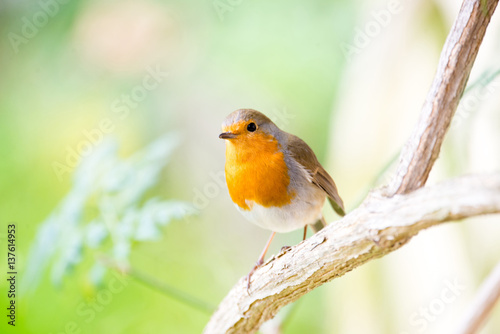 Fototapeta A little robin in the garden with green background