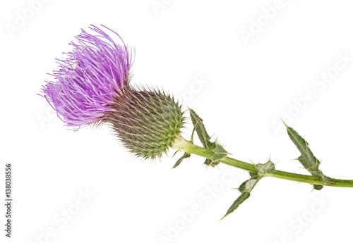 Valokuvatapetti Milk Thistle plant (Silybum marianum) herbal remedy