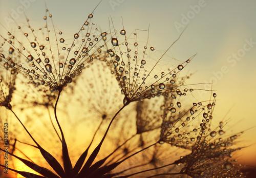 Fototapeta premium Krople rosy na dmuchawcu przy wschodzie słońca.