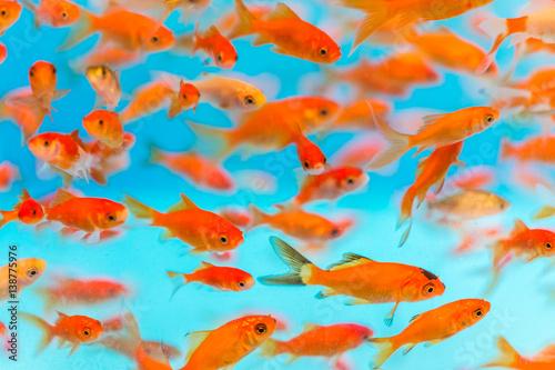 Many small goldfish swimming in aquarium Fototapet