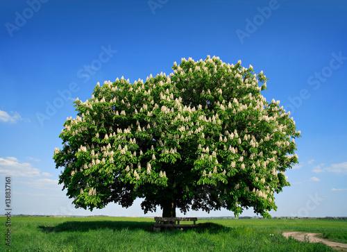Nicely Shaped Chestnut Tree in Full Bloom on Meadow in Spring Landscape under Blue Sky