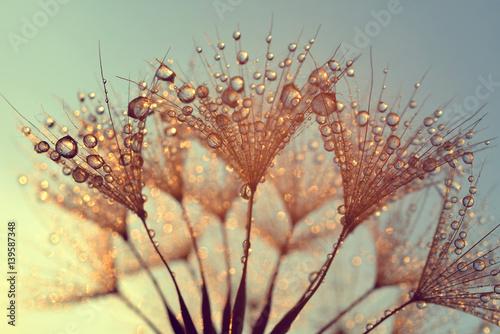Fototapeta premium Rosa krople na dandelion ziarnach przy wschodu słońca zakończeniem up.