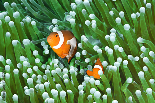 Fotografia Clownfish family, Amphiprion ocellaris, hiding in host sea anemone Heteractis magnifica